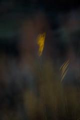 FLIGHTS OF LIGHT (Deborah Hughes Photography) Tags: leaves multipleexposures intentionalcameramovement icm desert winter weeds