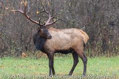 Bull Elk (jackdean3) Tags: mountains smoky antlers bull dean elk great jack