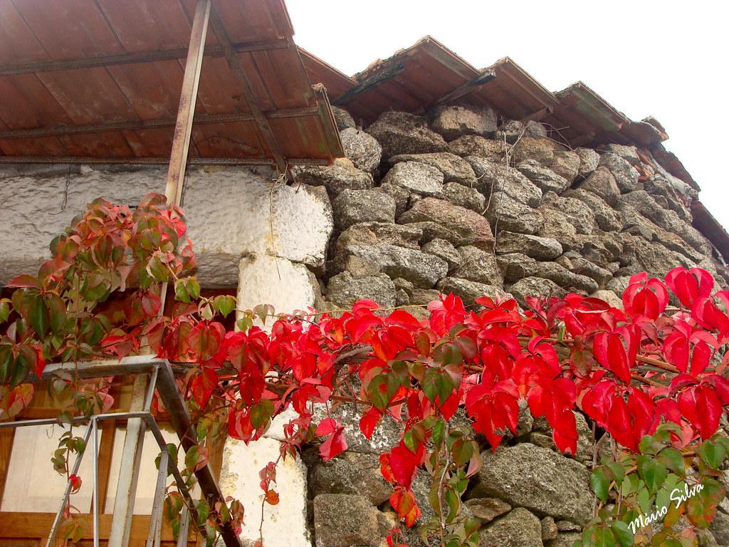 Águas Frias (Chaves) - ... o contraste do encarnado das folhas e o cinzento da pedra da parede e a ombreira da porta caiada de branco ... (que mistura encantadora !!!!!)