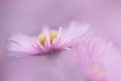 le bonheur d'être deux (christophe.laigle) Tags: rose christophelaigle fleur macro nature flower fuji xpro2 xf60mm pink