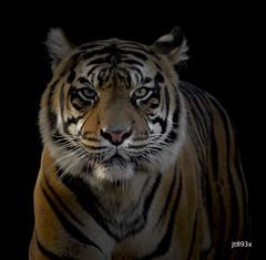 Tiger (jt893x) Tags: 150600mm d500 jt893x nikon nikond500 portrait sigma sigma150600mmf563dgoshsms tiger alittlebeauty coth thesunshinegroup coth5 sunrays5