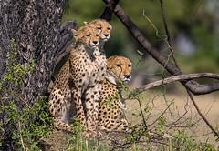 Cheetah Family (Thomas Retterath) Tags: natur nature safari nopeople 2018 okavangodelta botswana africa afrika mapula thomasretterath wildlife cheetah acinonyxjubatus gepard felidae raubtiere predator carnivore säugetier mammals animals tiere cub coth coth5
