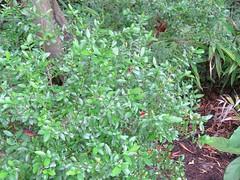 Graptophyllum excelsum 3 (barryaceae) Tags: royal botanic gardens sydney australianrainforestplants australian rainforest plants species new south wales australia ausrfps acanthaceae acanthus