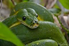 Python vert - Morelia viridis (jenny' pix) Tags: zoo animaux animals reptiles serpent morelia viridis python vert snake
