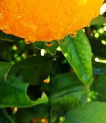 Drops (jimiliop) Tags: drops wet orange oranges leaves green natural nature water closeup macro fruit reflections