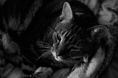 Bugsy [ 7 1/2 years ] (Dreaming of the Sea) Tags: cat kitten moggy blackandwhite gimp bugsy sundayanimals tamronsp2470mmf28divcusd nikond7200 pet