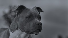 Molly (Cruzin Canines Photography) Tags: americanpitbullterrier canon5ds portrait cute pitbull domesticanimal dog palmerpark eos5ds animals pit nature canon dogs monochrom pets naturallight canine animal canoneos5ds blackandwhite pet outside colorado pitbullterrier outdoors coloradosprings
