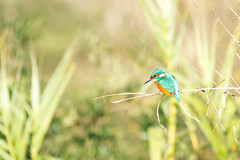Martin Pescatore (Kingfisher) (Giuseppe Oricchio) Tags: bird nikon colors kingfisher martinpescatore nature fauna green life d3100 orange fishing 150500mm sigma animal giuseppeoricchio greenwater yellow uccello fly wings plumage animale verde natura arancione wildlife wild birdwatching campania italia italy
