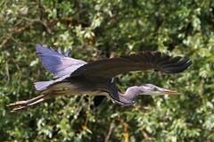 Grey Heron -Ardea cinerea - Danube Delta Romania (7) (Ann Collier Wildlife & General Photographer) Tags: greyheron ardeacinerea danubedelta romania inflight heron birds bird