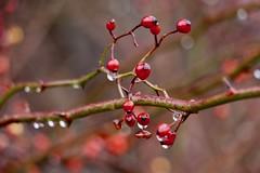 Berries in the Rain (Read2me) Tags: cye tcfe bokeh dof pregame pregamewinner red berries wet drops branch friendlychallenges gamewinner perpetualchallengewinner gamex2