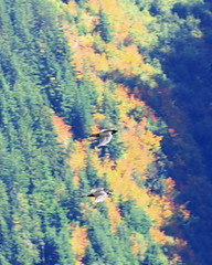 Along the Yellow Aster Butte Trail (AdagioatMSN) Tags: yellow aster butte mount baker wilderness autumn fallcolors hiking birds