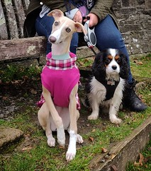 Willow hanging with her pal Jasper after the climb to the top of dinefwr castle • • • • • #pets #whippet #whippetsofinstagram #animals #petstagram #petsofinstagram #whippetlove #animal #sighthound #petsagram #whippetlife #cats #whippetcorner #whippets #ad (justin.photo.coe) Tags: ifttt instagram willow hanging with her pal jasper after climb top dinefwr castle • pets whippet whippetsofinstagram animals petstagram petsofinstagram whippetlove animal sighthound petsagram whippetlife cats whippetcorner whippets adorable doglover catsofinstagram puppies kitty catstagram dogoftheday kitten kittens ilovemydog