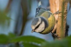 Blue tit (JS_71) Tags: nature wildlife nikon photography outdoor 500mm bird new autumn see natur pose moment outside animal flickr colour poland sunshine beak feather nikkor d7500 wildbirds