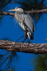 Great Blue Heron (sr667) Tags: portcharlotte florida usa us greatblueheron heron animalia chordata aves pelecaniformes ardeidae ardea aherodias olliespond canon sigma 150500mmf563apodgos 150500mm pond olliespondpark floridaparks bluesky birds bird canoneos7d