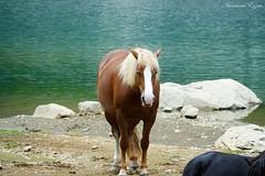 Les chevaux de Bious-Artigues (Ezzo33) Tags: france nouvelleaquitaine pyrénéesatlantiques laruns vallée ossau ezzo33 nammour ezzat sony rx10m3 parc national pic midi lac bious artigues horse horses cheval chevaux