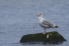Seagull (Kamil C.) Tags: seagull mewa bird k5ii da3004