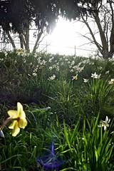 P1150386 (harryboschlondon) Tags: plantstreesandflowers naturephotography nature botanical botanicalphotography england englandphotography flowers flowersphotography harrybosch harryboschflickr harryboschphotography harryboschlondon march2019 march 2019 18thmarch2019 forbury yellow green