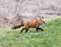 DSC_8631.jpg=010219 cruising on by (laurie.mccarty) Tags: animal fox nature wildlife outdoor