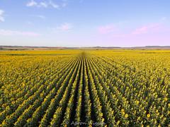 More Sunflowers (aaron.wiggan) Tags: summer sunflowers january dad aaron droning phandom3standard phantom roadtrip debbie scenicrim allora 2019 dji queensland emily australia au