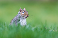 Grey (alanrharris53) Tags: grey squirrel grass feeding bokeh mammal rodent treerat wildlife bourne lincs