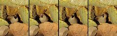One Actor Theater in the Desert.  Performing: Donna Quail. (cbrozek21) Tags: gambelsquail callipeplagambelii bosquedelapache theater performance nature humor bird cactus desert fantasticnature