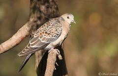 Oriental Turtle-Dove (M) - Sattal, India - Dec 2018 (Saad Towheed Photography) Tags: bird wing beak feather oriental turtle dove male sattal india