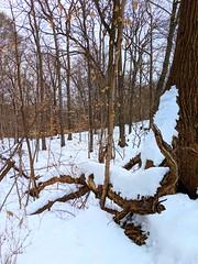 snowy woods (ekelly80) Tags: dc washingtondc january2019 winter snurlough snow snowstorm shutdown trumpshutdown rockcreekpark woods snowy snowwalk snowday trees