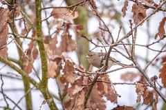 Pinson des arbres (ea_photographie) Tags: oiseau bird nature wild wildlife