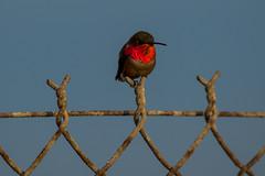 Allen's Hummingbird (Daren Grilley) Tags: goldenhour hummingbird bird huntington beach california ocean nikon d850 200500