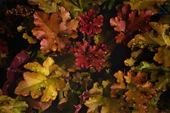 The Dance Is Over (Christina's World!) Tags: leaves natureabstract naturallight nature colorful textures red yellow gold artistic blackbackground creative colors california dramatic exotic garden abstract outdoors orange plant stilllife unitedstates usa vegetation vividcolors raindrops january heuchera coralbells water coth5 kurtpeiser