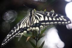 Papilio xuthus      Boyer Paris Saphir <<B>> 100mm F 4.5 (情事針寸II) Tags: japan 日本 マクロ撮影 昆虫 揚羽蝶 bokeh oldlens macro nature butterfly insect papilioxuthus boyerparissaphirb100mmf45