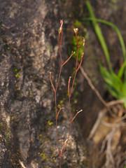 Stylidium uliginosum (小铖smalltown) Tags: stylidiaceae stylidium