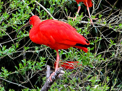 Ibis rouge (Jean-Daniel David) Tags: oiseau échassier nature arbre ibis ibisrouge branche vert verdure rouge france ain parcornithologique rhônealpes villarslesdombes