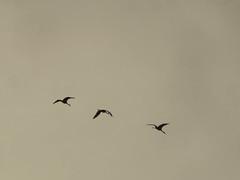 Sandhill Cranes 2 (D. S. Hałas) Tags: halas hałas canada ontario haltonregion haltoncounty oakville memorialpark chordata sarcopterygii aves gruiformes gruidae antigonecanadensis gruscanadensis sandhillcrane crane bird