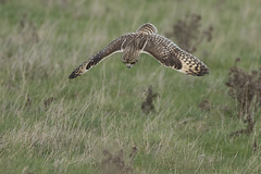 Short Eared Owl hunting (Ade Ludlam) Tags: short eared owl hunting dive raptor bird prey nature wildlife somerset nikon d7200 sigma sigma150600