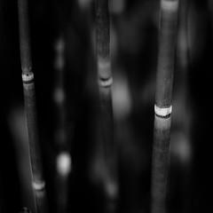 Marshland Grasses 065 (noahbw) Tags: d5000 dof nikon sedgemeadowforestpreserve abstract blackwhite blackandwhite blur bw depthoffield forest lines marshland monochrome natural noahbw prairie square summer wetlands woods