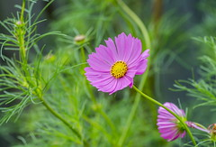 Late blooming Cosmos (tkclip47) Tags: flowers blooms cosmos plants fall garden