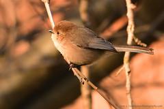 "American-Bushtit_01 (DonBantumPhotography.com) Tags: wildlife nature birds animals americanbushtit smallgreenbird ""donbantumphotographycom"" ""donbantumcom"""