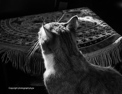 Contemplation (Photographybyjw) Tags: contemplation prissy is thinking jumping up her window seat this black white shot north carolina photographybyjw light cat mammal animal rural country