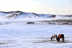 Horses (MelindaChan ^..^) Tags: innermongolia china 内蒙古 snow white 雪 tree plant nature chanmelmel mel melinda melindachan 冰 bashang 壩上