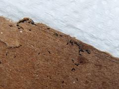 Aedes aegypti/albopictus eggs (Mosquito Addict) Tags: tiger mosquito asian african yellow fever dengue zika eggs philippines