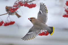 Bohemian waxwing (Peter Stahl Photography) Tags: bohemianwaxwing waxwing berries mountainash snow winter