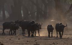 Cape Buffalo (tickspics ) Tags: africa zambia bovids lowerzambezi eventoedungulates capebuffalo artiodactyla africanbuffalo bovidae bovinae bovini mammalia southernsavannabuffalo synceruscaffer synceruscaffercaffer sspcaffer