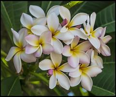 Pink and White Frangipani-2= (Sheba_Also 46000 + photos-Videos) Tags: pink white frangipani
