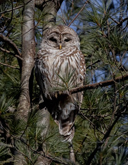 Barred Owl (stephenwalshphoto) Tags: