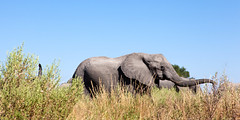 "Ear Flap _6769 (hkoons) Tags: chobenationalpark firstbridge magweegate mbomaisland southernafrica thirdbridge footprint africa botswana elephant magwee animal animals beast big expanse grass herbivore horizon horn horns ivory land landscape large mammal monster outdoors pachyderm panorama shrubs sky sunlight tracks trees trunk view ""moremigamereserve"