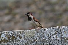 Sparrow (srkirad) Tags: animal bird sparrow smallbird tinybird closeup dof depthoffield bokeh blur dorćol promenade river danube rock stairs summer belgrade beograd serbia srbija