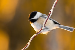Chickadee (idvisions) Tags: wildlife wetlands wetland explore canoneos7d chickadee outdoor interestingness bird birds light