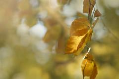 The golden side of Brown! (Elisafox22) Tags: elisafox22 sony a58 meyeroptik lens meyeroptikorestor bokehmonster 135mmf28 15blade vintagelens leaves autumncolours golden colours hsos hcc clichesaturday bokeh smileonsaturday lifeisarainbow brown natureisanartist sunshine sunlight elisaliddell©2018