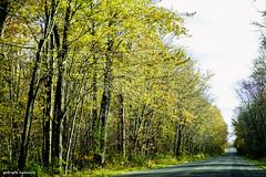 October in the Big Swamp (gabi-h) Tags: autumn fall bigswamp gabih road trees foliage yellow october princeedwardcounty landscape colourful bengillroad tunnelthroughthetrees nicedrive